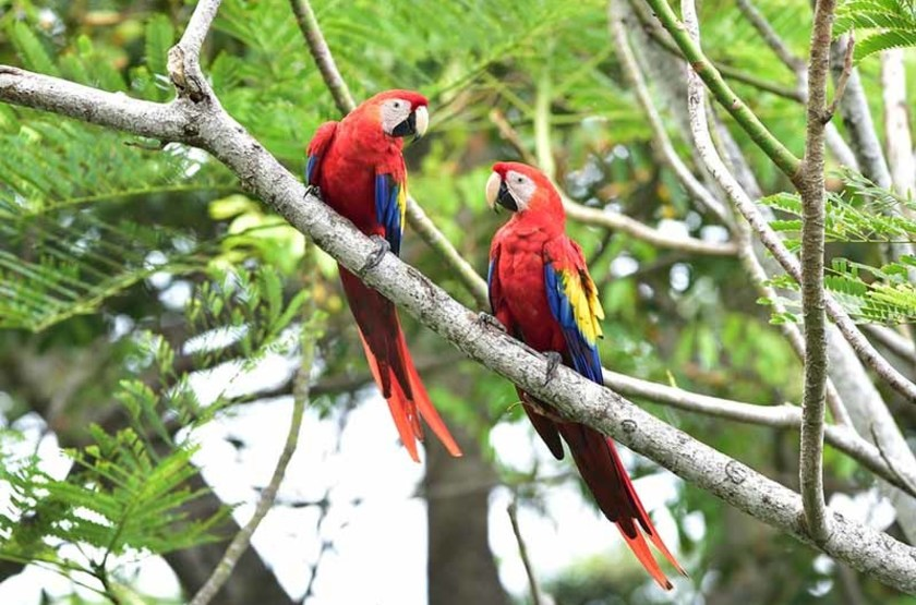 Aras rouges, Parc National de Corcovado, Costa Rica