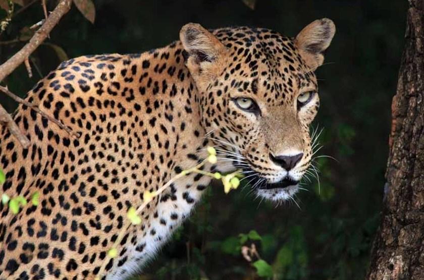 Léopard, Yala, Sri Lanka