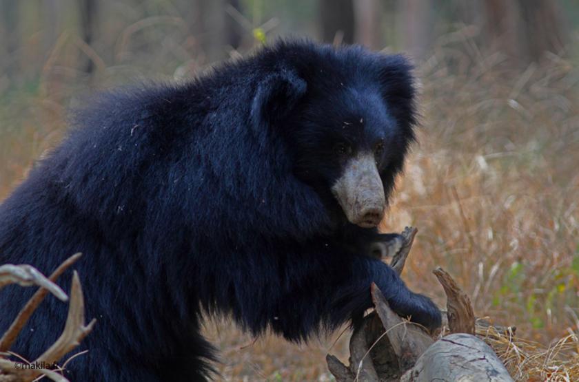 Inde, Parc de Satpura, l'ours est un des rois de cet extraordinaire safari animalier.
