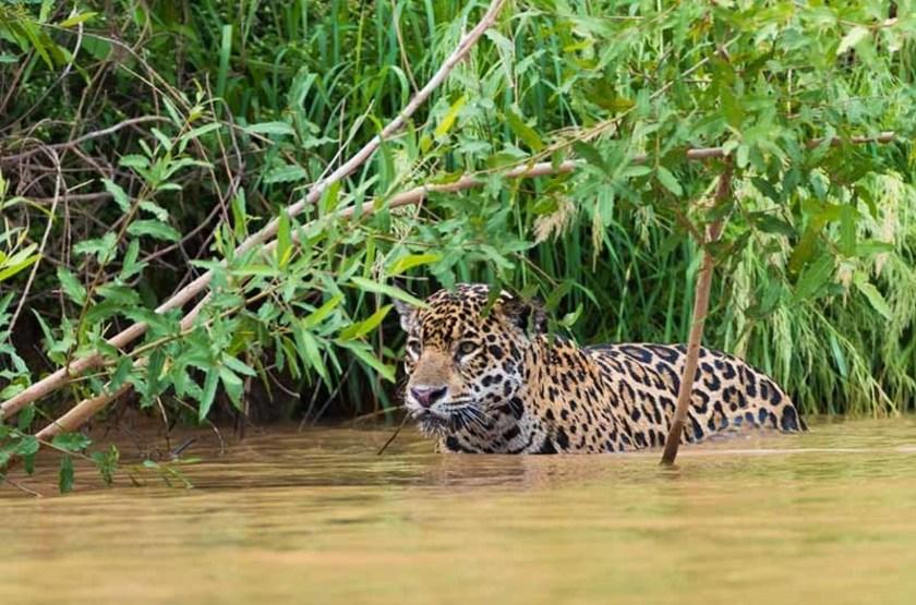 Jaguard dans le Pantanal, Brésil