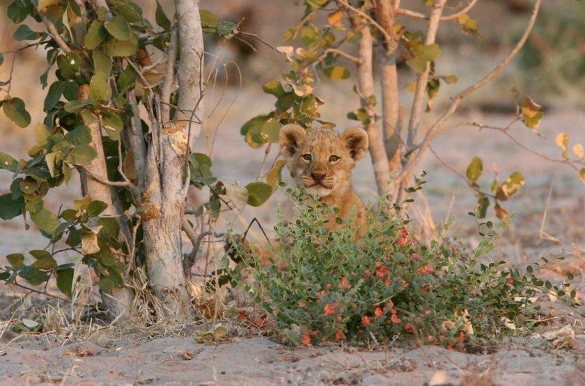 Lionceau dans le parc Hwange, Zimbabwe