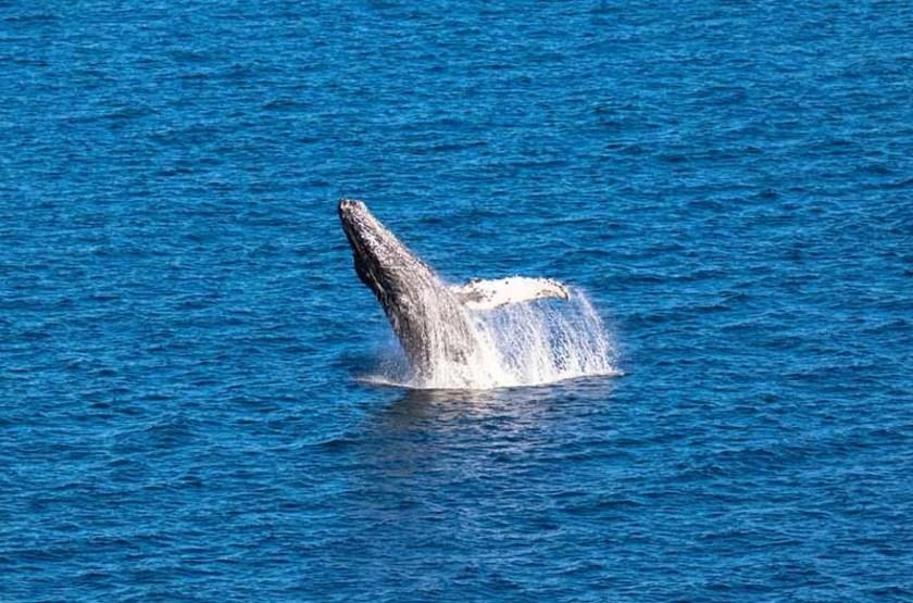 Baleine à bosses, Basse Californie