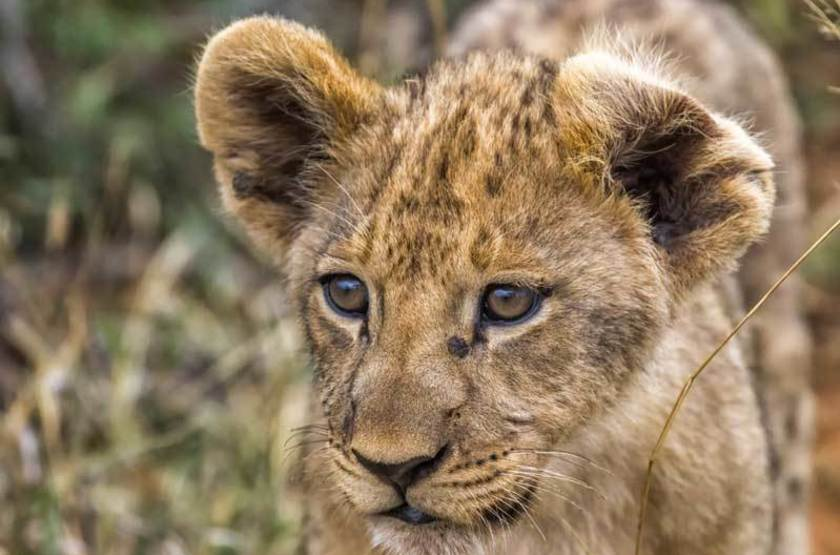 Lionceau, réserve de Madikwe, Afrique du Sud