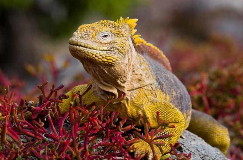 Iguane, Îles Galapagos