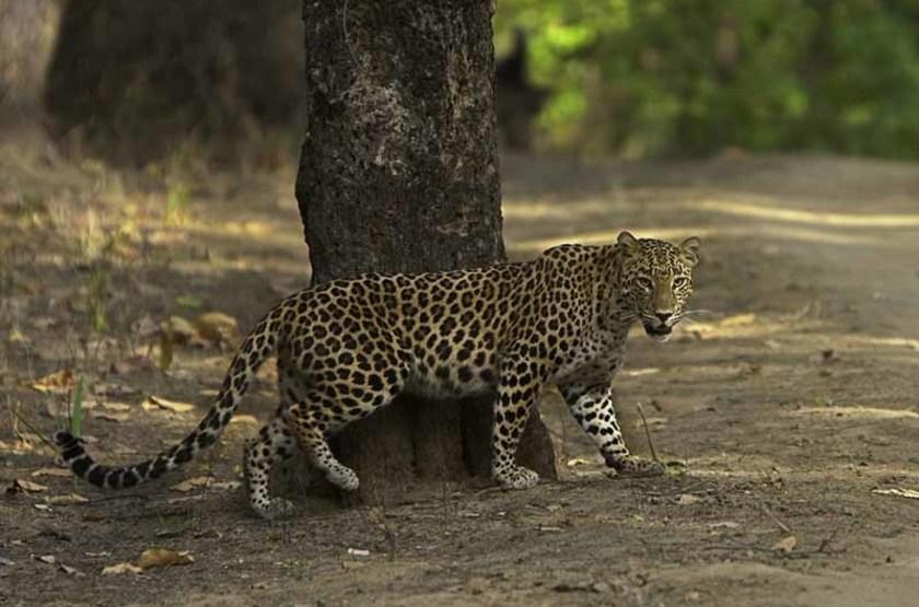 Léopard, Parc National Kanha, Inde