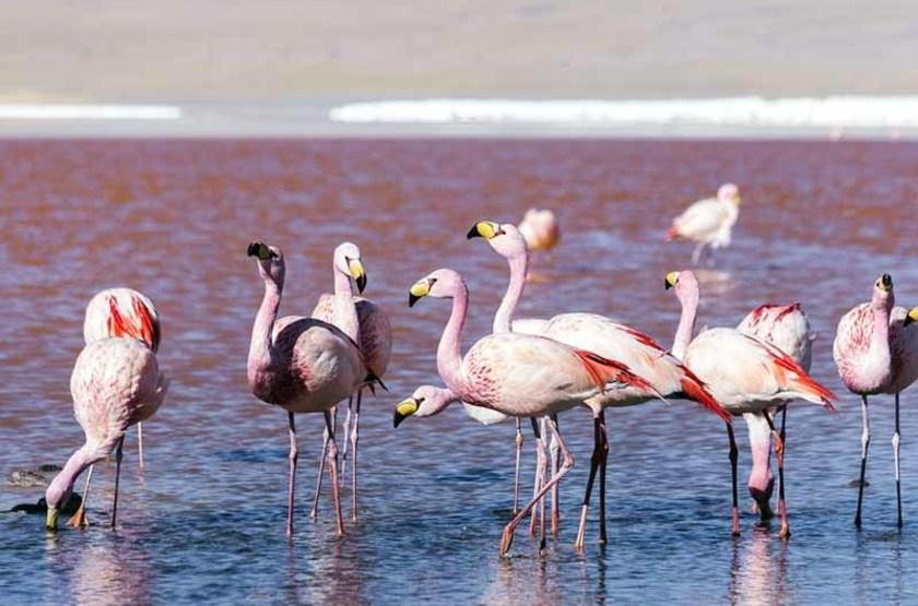 Lac rouge et flamants roses dans le désert d'Atacama, Chili