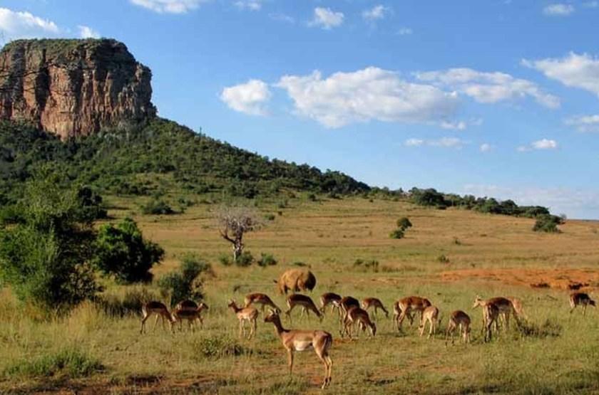 Troupeau de cerf, Limpopo, Afrique du Sud