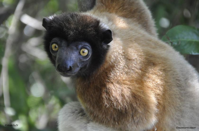 Madagascar - Nosy Antsoha - Lémurien Sifaka