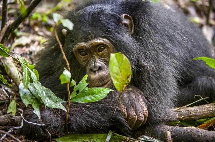 Chimpanzé, Parc national de Kibale, Ouganda