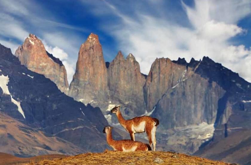 Guanacos dans le Parc National Torres Paine, Patagonie