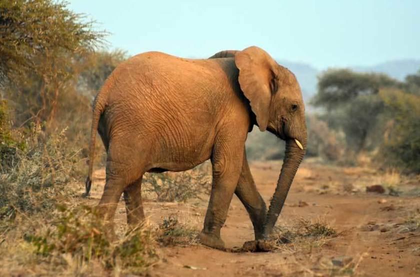 Éléphanteau, réserve de Madikwe, Afrique Sud