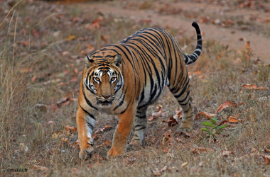 Safari en Inde : toutes les facettes de la magie, voyage Asie