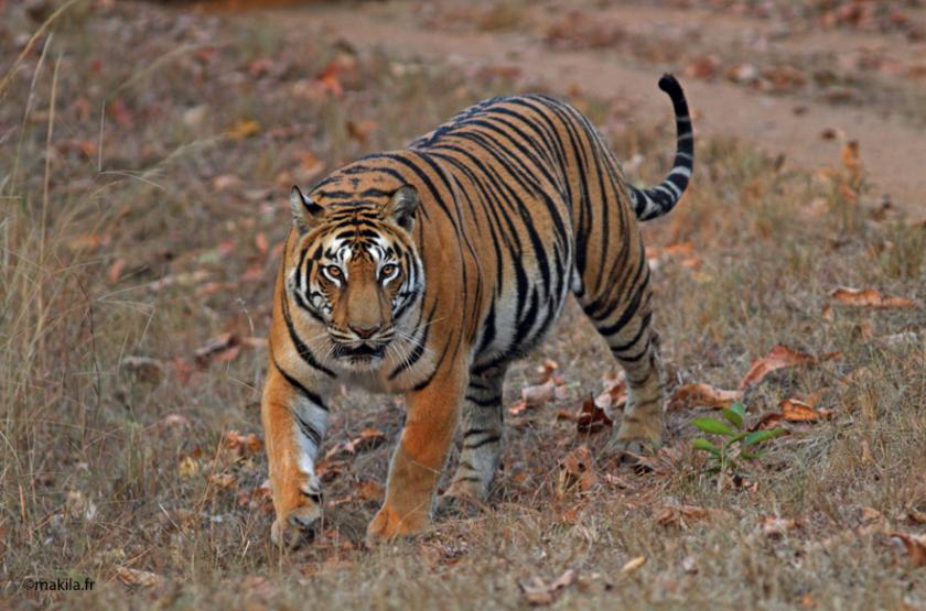 Le tigre en Inde est roi, le safari animalier en Inde est plein de magie.