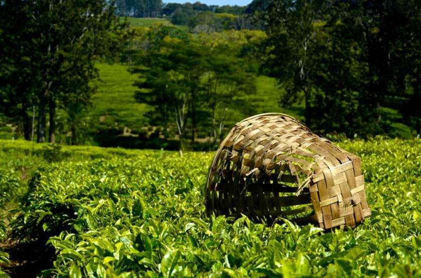 Plantation de thé, Malawi