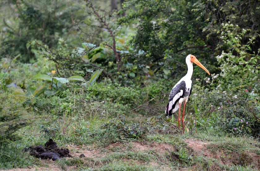Marabu dans le parc de Walawe, Sri Lanka