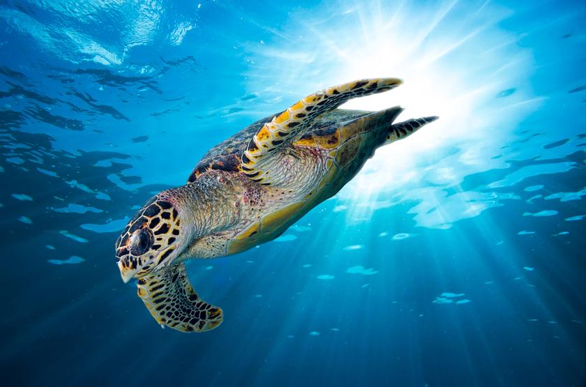 Tortue verte sous marine