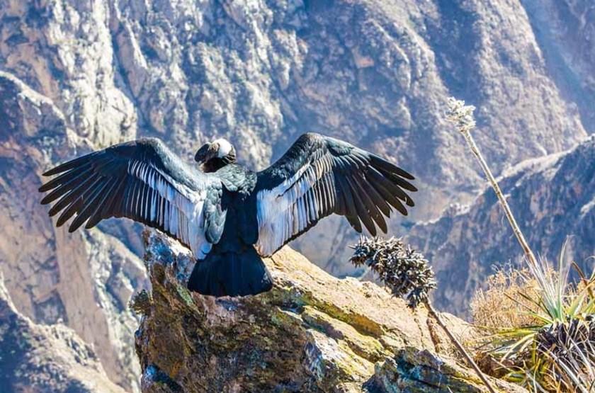 Condor dans le canyon Colca, Pérou