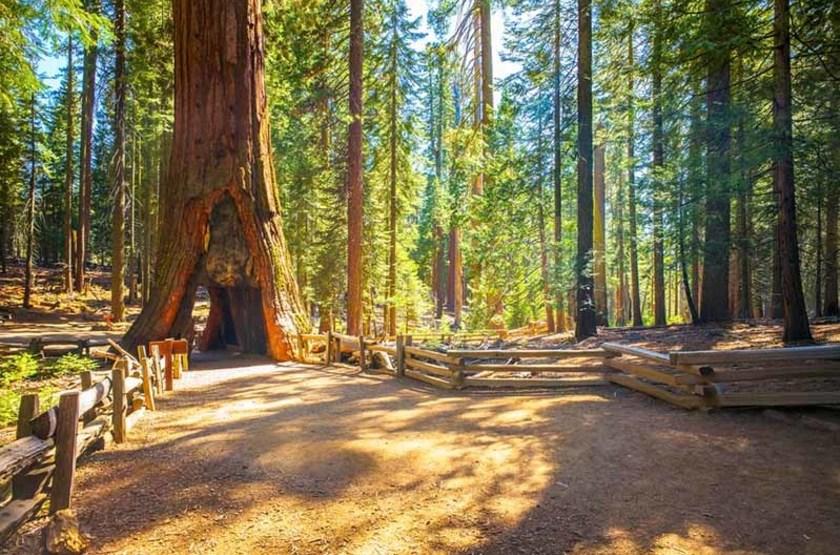 Séquoia géant de Mariposa Grove, parc Yosemite