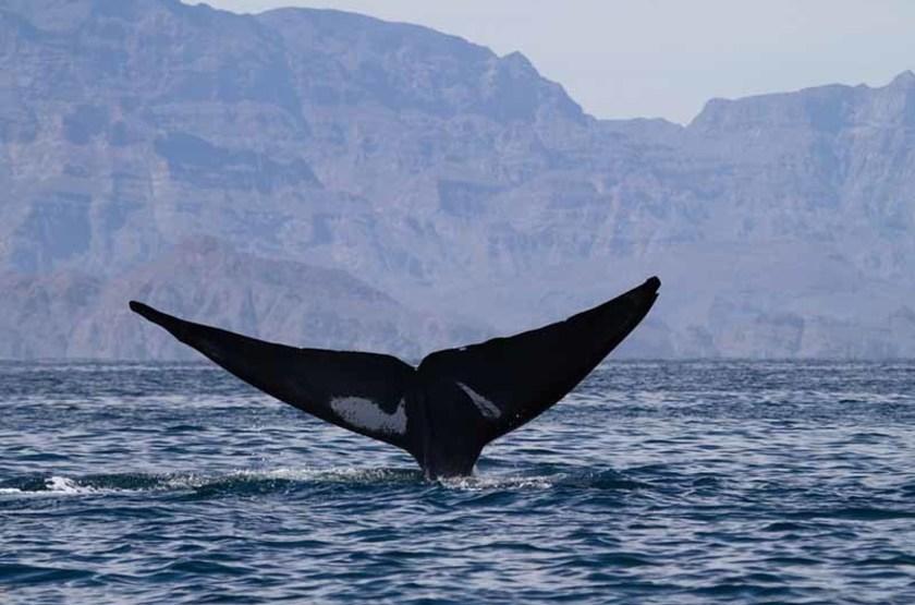 Baleine bleue dans le Golfe de Californie, Mexique