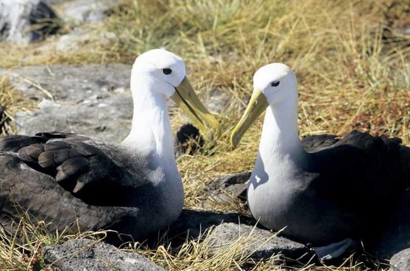Couple d'Albatros, Îles Galapagos