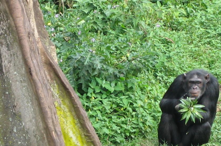 Trek en Ouganda, chimpanzé dans la forêt de Bwindi
