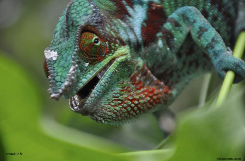Madagascar - Réserve naturelle - Caméléon