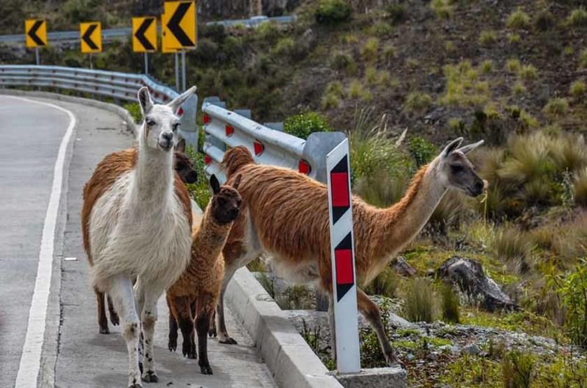 Lamas dans le Parc National El Cajas, Equateur