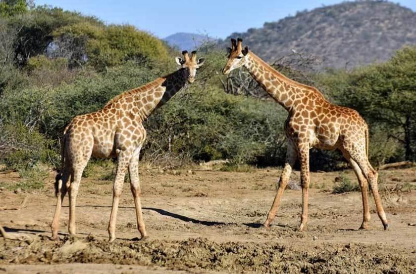 Girafes, réserve de Madikwe, Afrique du Sud