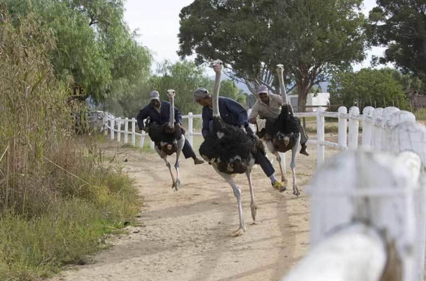 Course d'autruches, Afrique du Sud
