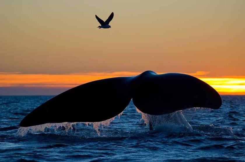 Baleine australe, Patagonie