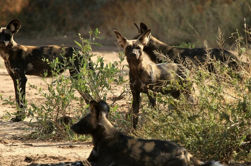 Wild dogs slideshow
