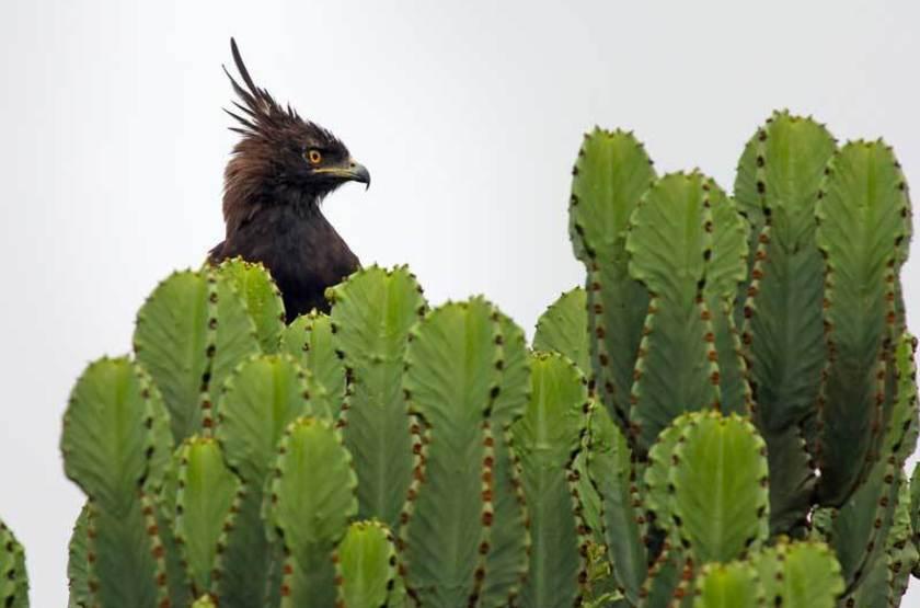 Aigle Huppard, Parc National Reine Elisabeth, Ouganda