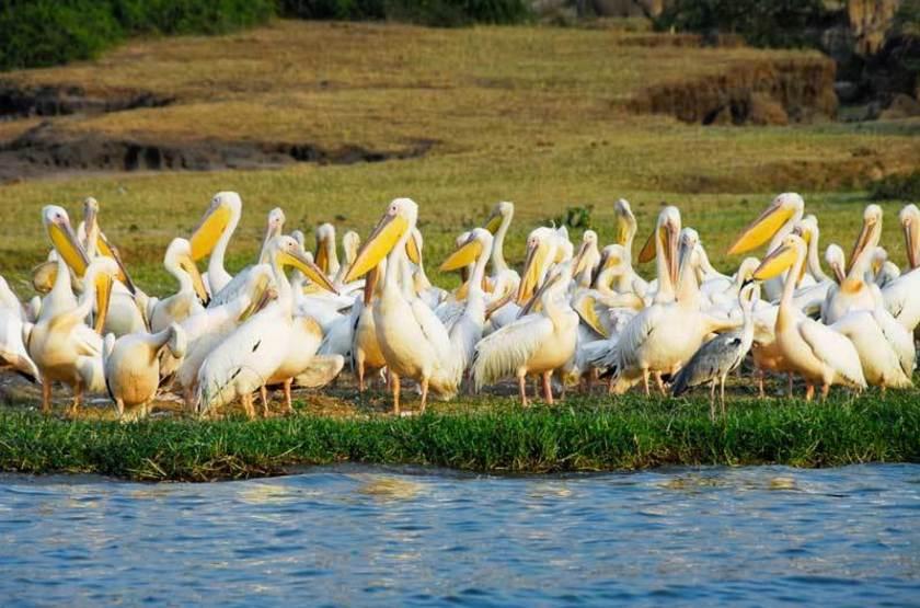 Pélicans dans le Canal de Kazinga, Ouganda