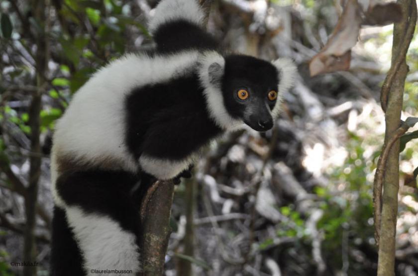 Madagascar - Nosy Antsoha - Lémurien Varécia