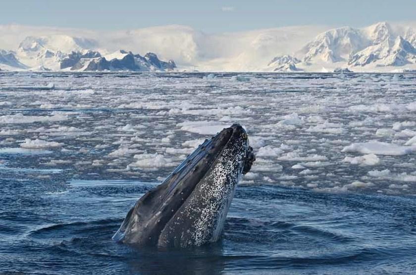 Baleine à bosses, Antarctique