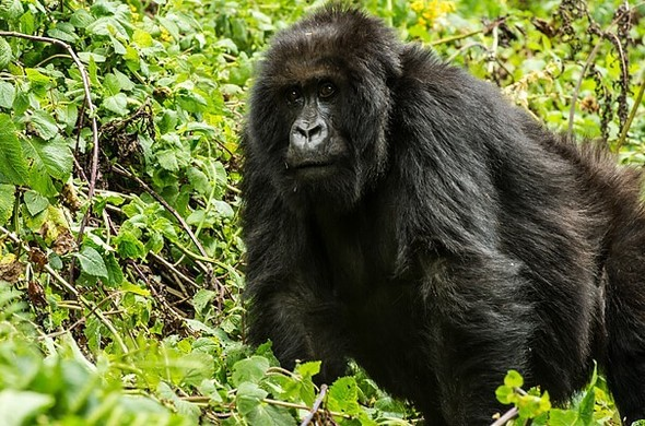 Safari sur-mesure au Rwanda : à la rencontre des primates, voyage Afrique
