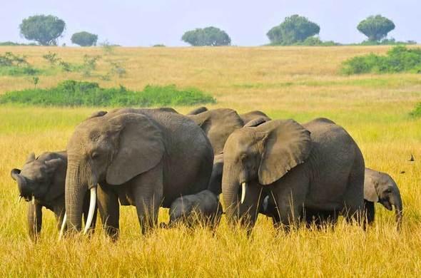 Ouganda : rencontre avec les gorilles et les chimpanzés et safari dans le parc national de Queen Elizabeth, voyage Afrique