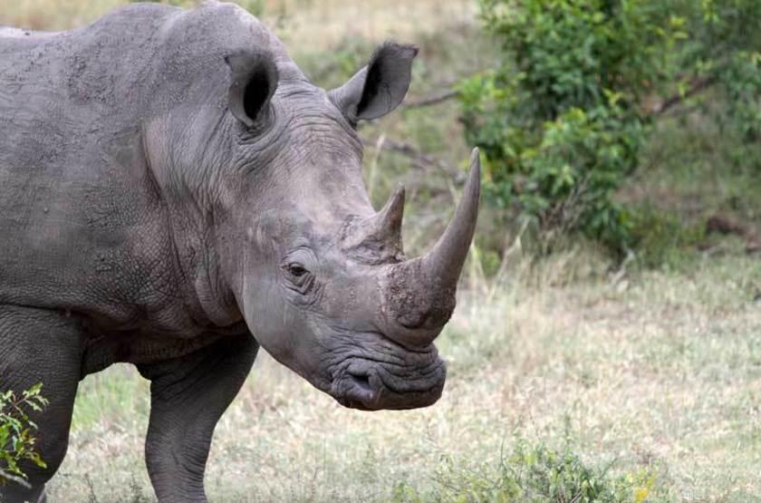 Rhinocéros de la réserve de Sabi Sand, Afrique du Sud