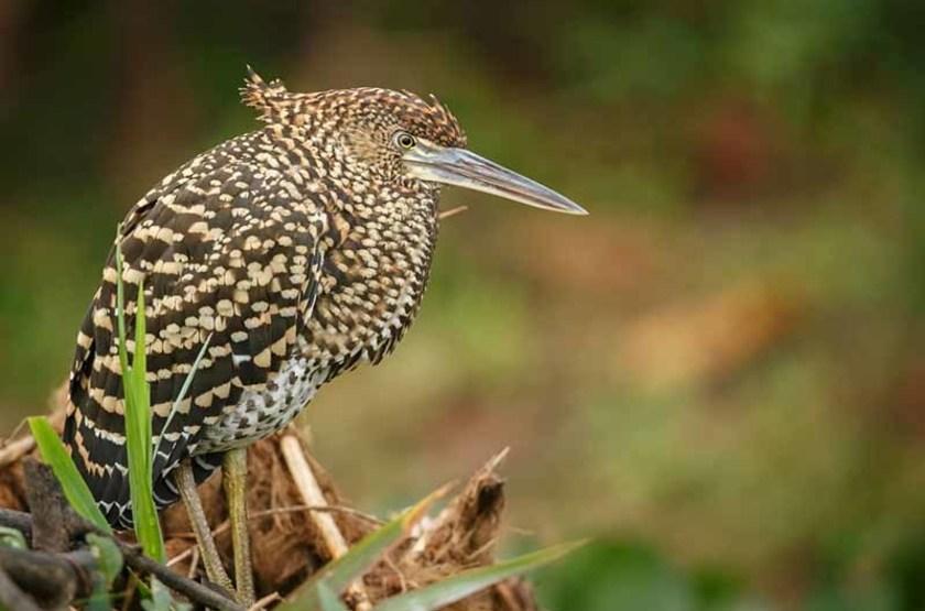 Oiseau du Pantanal, Brésil