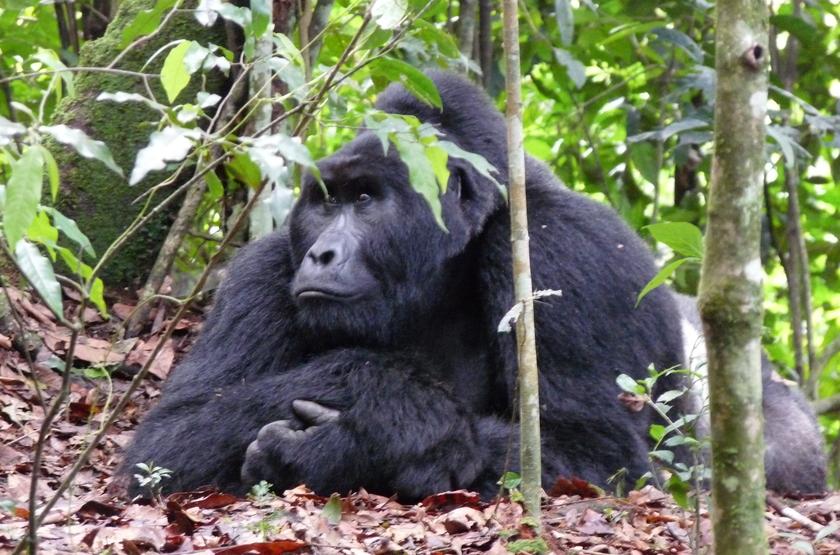 Gorille de montagne, Ouganda