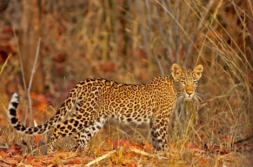 Le safari animalier en Inde réinvente le safari