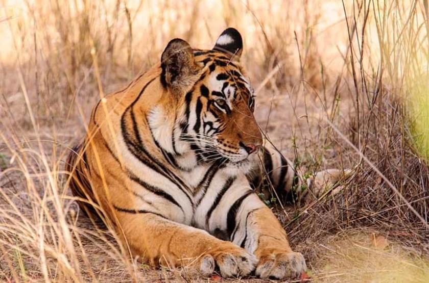 Safari tigre du Bengale, Parc National Bandhavgarh, Inde