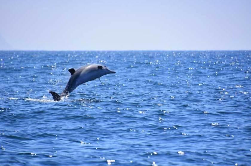 Dauphin dans la baie de Plettenberg, Afrique du Sud