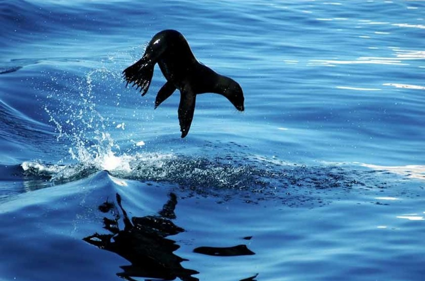 Otarie dans le Golfe de Californie, Mexique