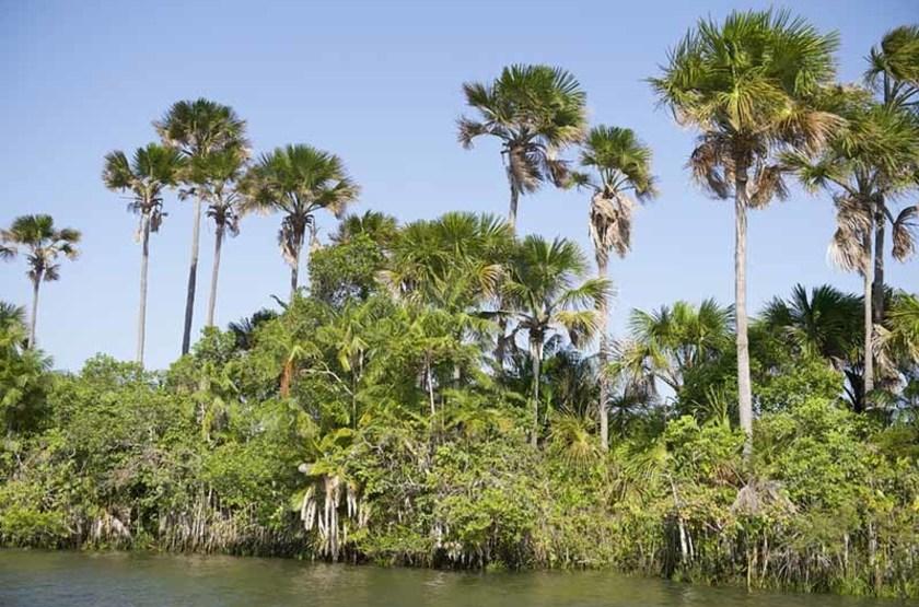 Palmiers le long de la rivière Rio-Preguicas, Brésil