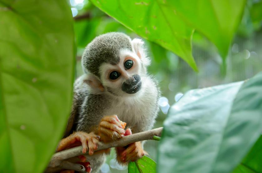 Singe Squirrel, Amazonie, Bresil