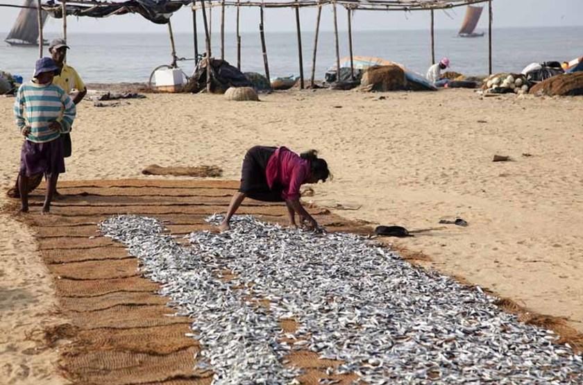 Femme faisant sécher des poissons sur la plage de Negombo, Sri Lanka