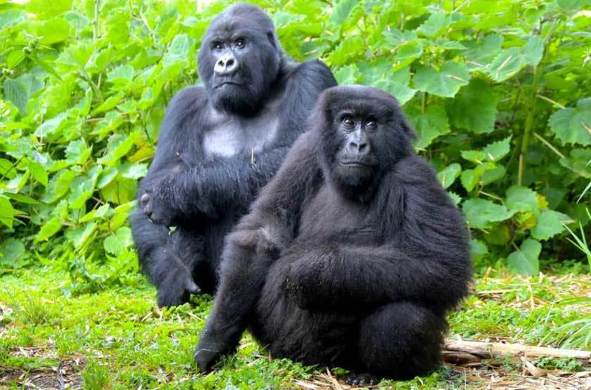 Gorilles, Rwanda