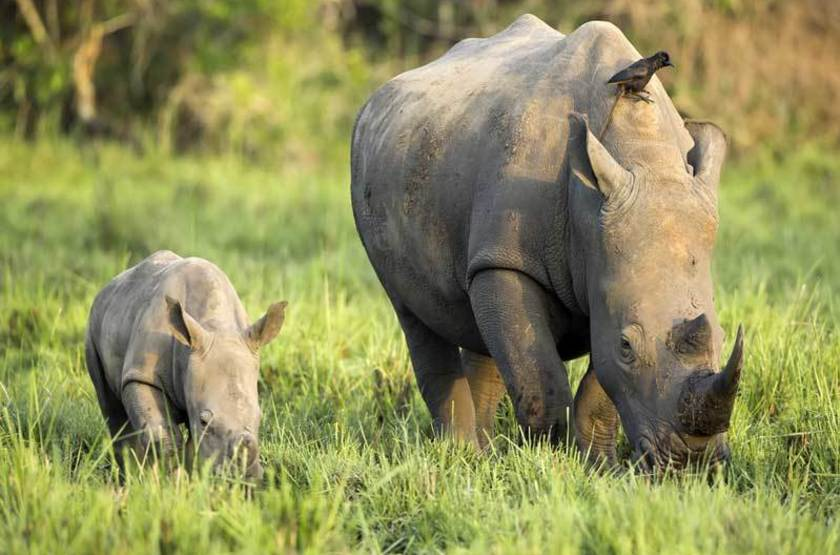 Rhinocéros blanc, Afrique du Sud