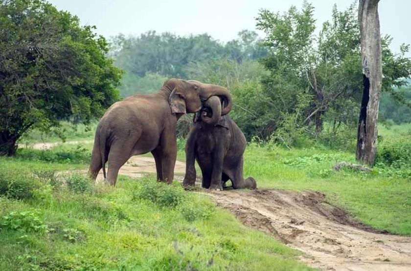 Éléphants, Sri Lanka